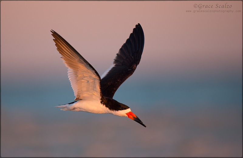 BlackSkimmer_O8U5048-Edit-2.jpg