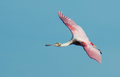 Spoonbill returning to the mainland.