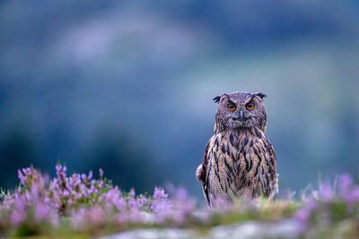 Hubro (Eurasian eagle-owl)