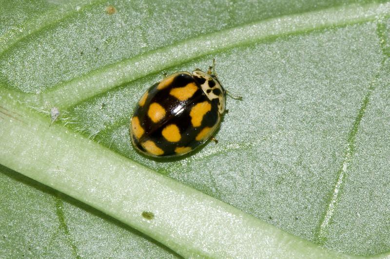 Tiprikket marihøne f.decempunctata
