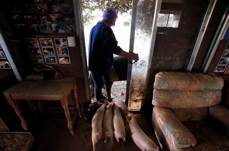 . Farmer Lindy Haynes walks out of her living room with some of the more than 25 pigs she lives with in her home on her property known as \'Pigsville\' in the New South Wales town of Mudgee, located 250 km (155 miles) west of Sydney March 2, 2013. Haynes believes that all farm animals should be \'free range\', and allows the pigs, chickens, cats and dogs on her farm to move freely in and out of her house, with most sleeping inside at night. Picture taken March 2, 2013.    REUTERS/David Gray
