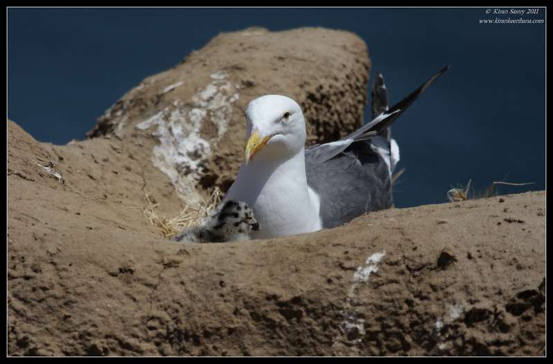 Western Gull sitting on the nest with chicks,, La Jolla Cove, San Diego County, California, June 2011