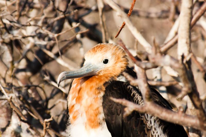 Resting Adolescent Frigate Bird : Journey into Genovesa Island in the Galapagos Archipelago