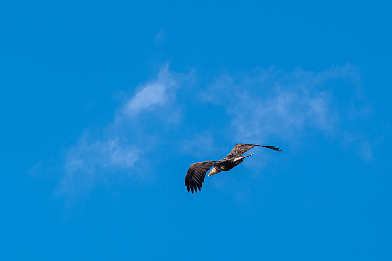 in flight bald eagle Nova Scotia.jpg