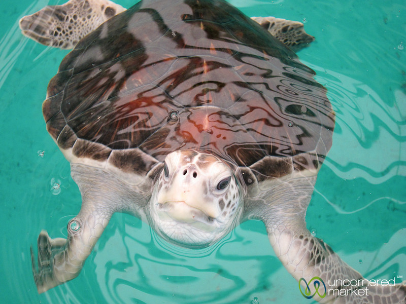 Hawksbill Marine Turtle - Mexican Turtle Center, Mazunte