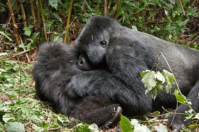 Parc National des Volcans - Gorilla Trek 2