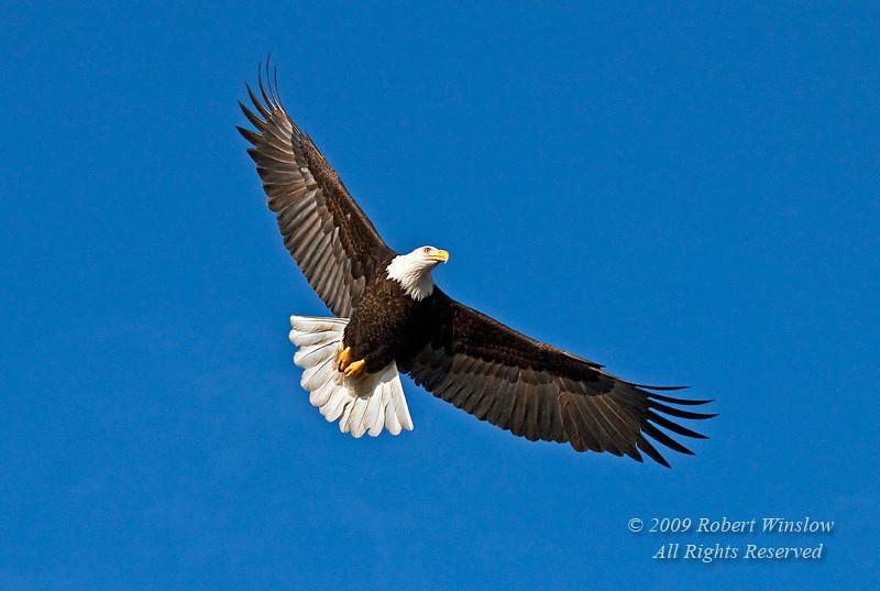 Bald Eagle, Haliaeetus leucocephalus, Flying, Kenai Peninsula, Alaska