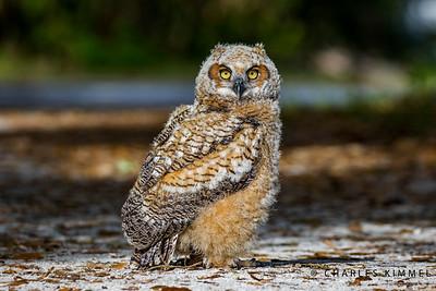 Owls: 2019
