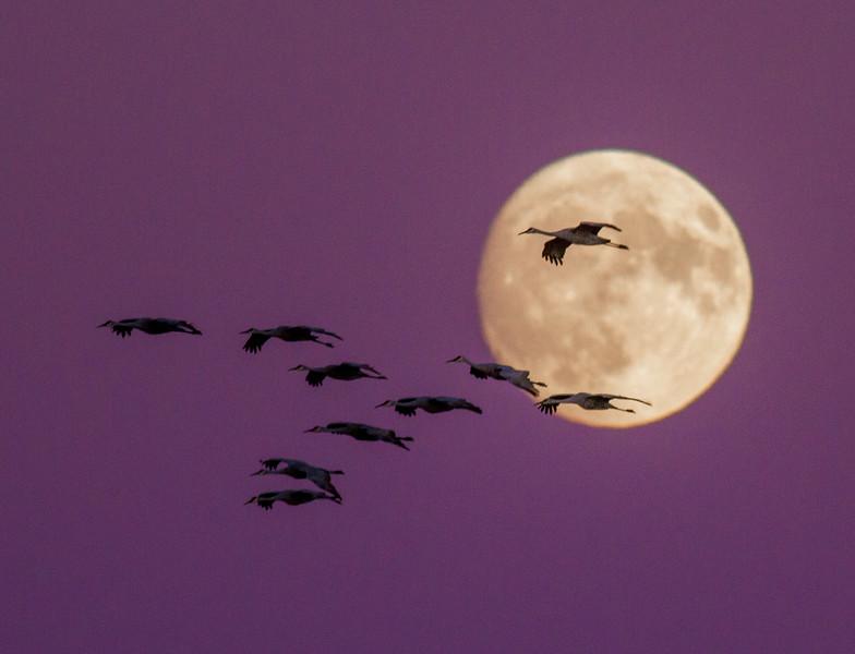 Sandhill Crane full moon fly in flight Crex Meadows Grantsburg WI IMG_2119.jpg