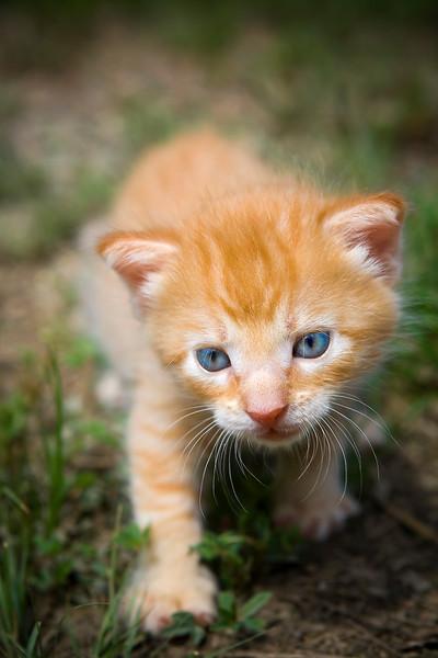 Kitten walking on the hunt, walking through the grass. Photography fine art photo prints print photos photograph photographs image images artwork.