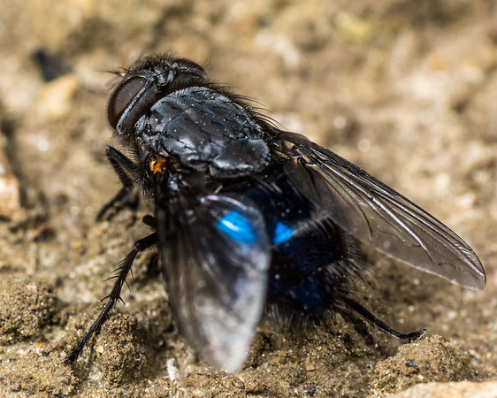 Calliphora quadrimaculata - New Zealand blue blowfly