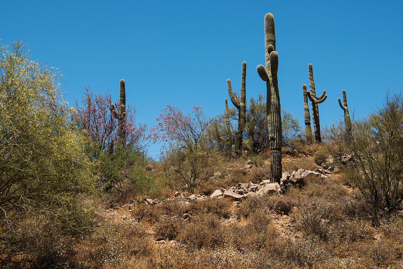 Saguaro Cacti stand Sentinel in the Phoenix Sonoran Preserve