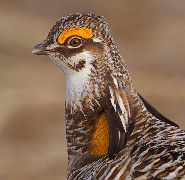 Greater Prairie Chicken Tympanuchus cupido