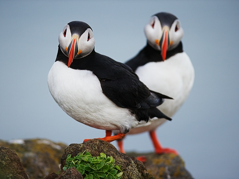 Atlantic Puffins stand on the grassy edge of a Látrabjarg cliff