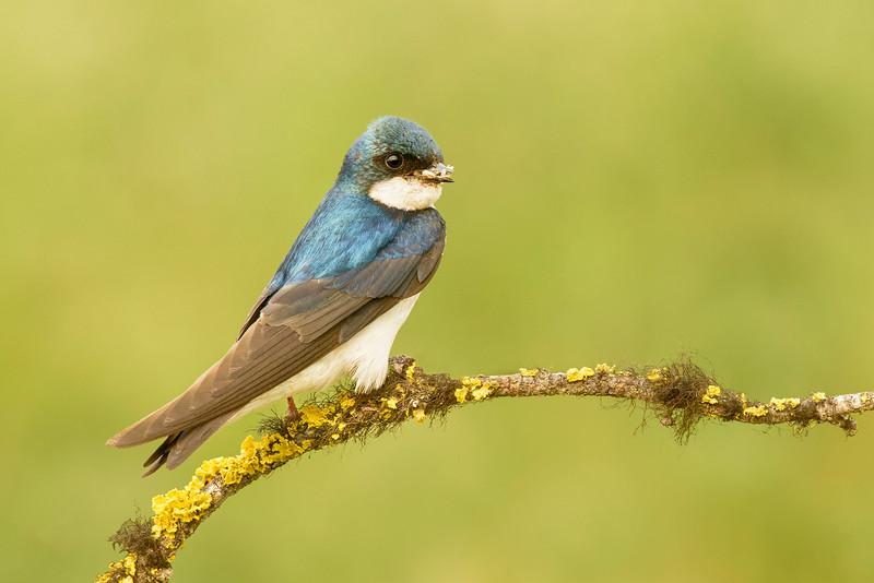 Tree Swallow Kamloops, BC