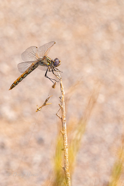 Variegated Meadowhawk Dragonfly off 190 in Death Valley NP July 2018.