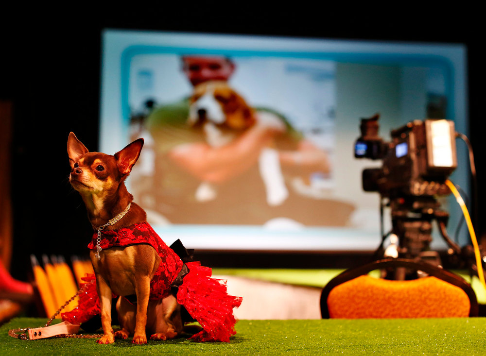 Description of . Chai Latte, a Chihuahua breed, sits on the runway before the start of the New Yorkie Runway Doggie Fashion Show in New York February 7, 2013. REUTERS/Shannon Stapleton