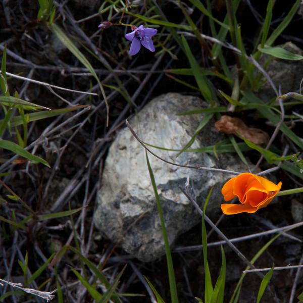 California poppy (Eschscholzia californica),Gilia of some sort, and serpentinite rock