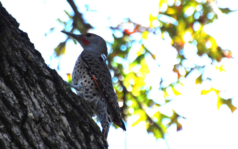 Red-shafted Northern Flicker.JPG