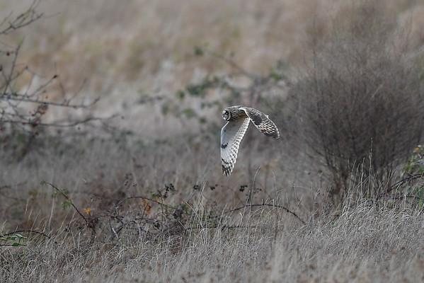 11-19-16 Short-eared Owl - RBS