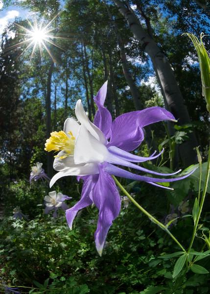 #18 Rocky Mountain Columbine (with sun)