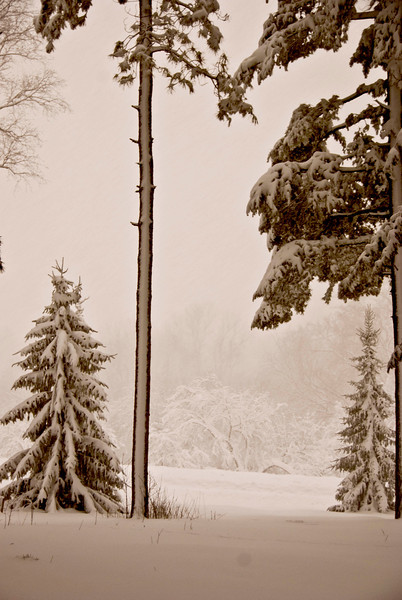 Thin snow pine .jpg