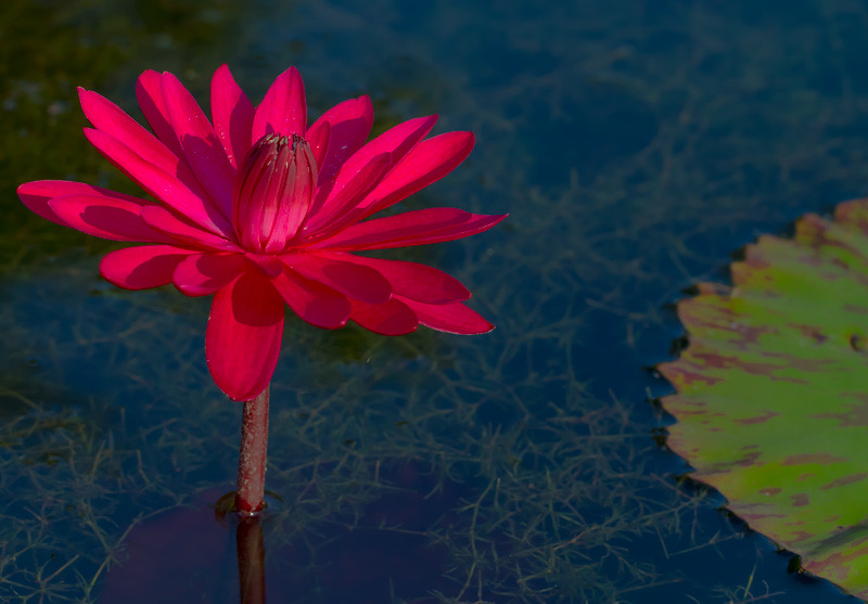 Lily  Pond 31
