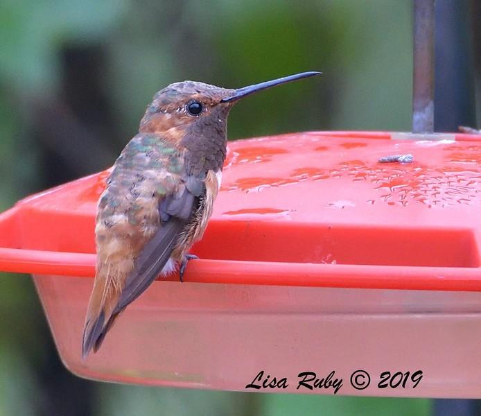 Rufous or Allen's Hummingbird - 8/1/2019 - Backyard, Sabre Springs