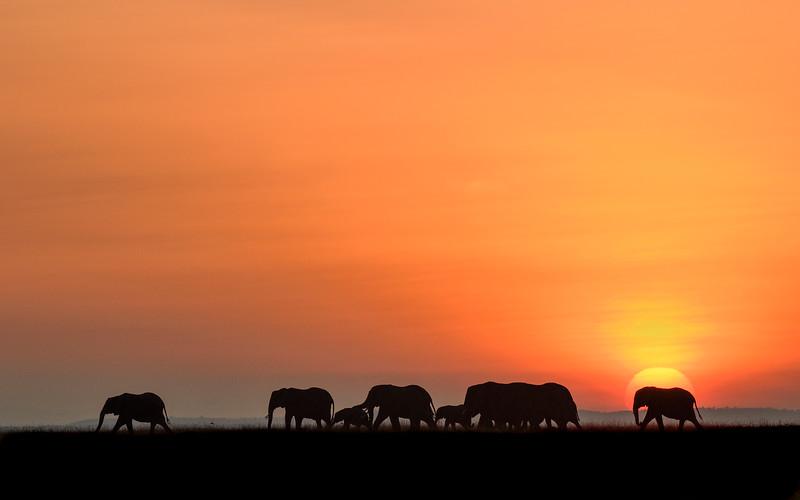 Elephant-herd-sunrise-masaimara-africa.jpg