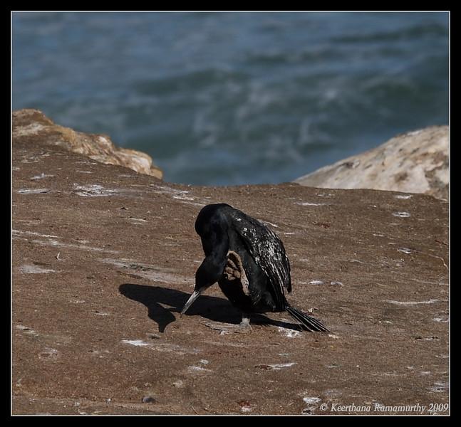 Brandt's Cormorant, La Jolla Cove, San Diego County, California, February 2009