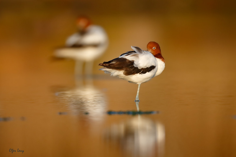 Red-necked Avocet with oof bird MASTER.jpg