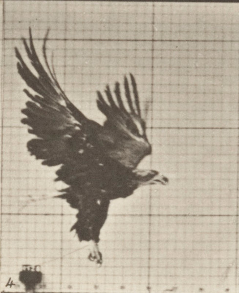 American eagle flying near the ground