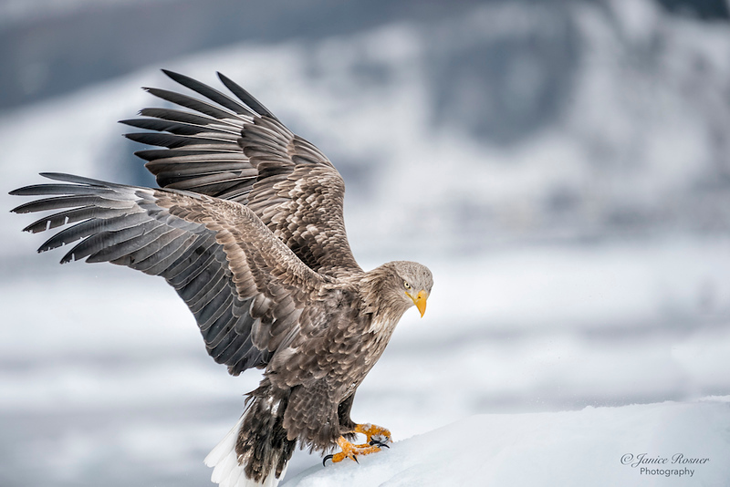 White Tailed Eagle 2