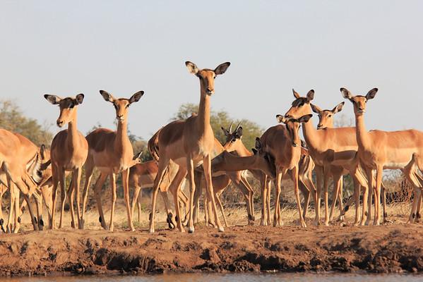 Antelopes of Mashatu Botswana 2013