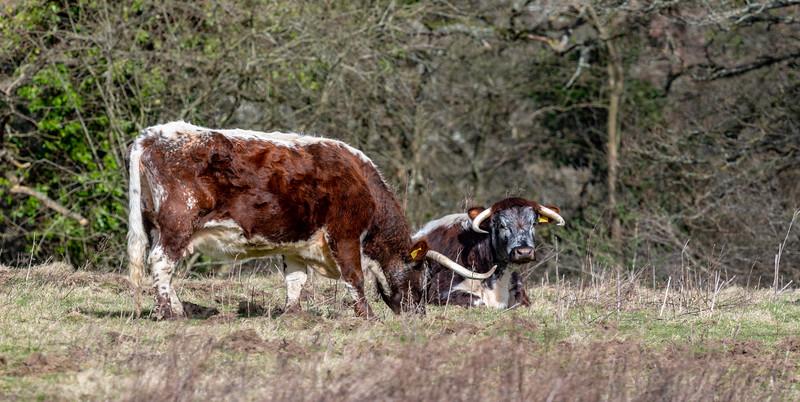 Knepp Cattle-6.jpg