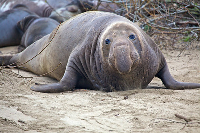 Ano Nuevo Elephant Seals 2010