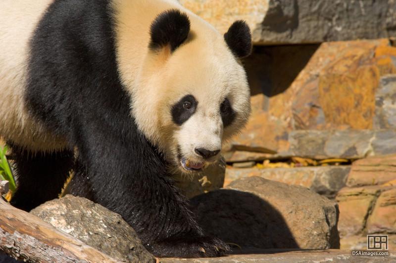 Wang Wang at the Adelaide Zoo