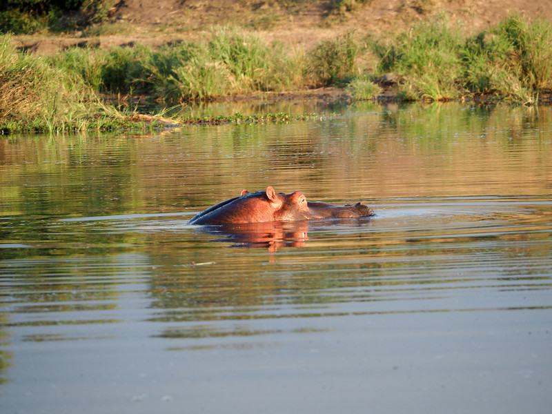 Hippo in Kruger National Park