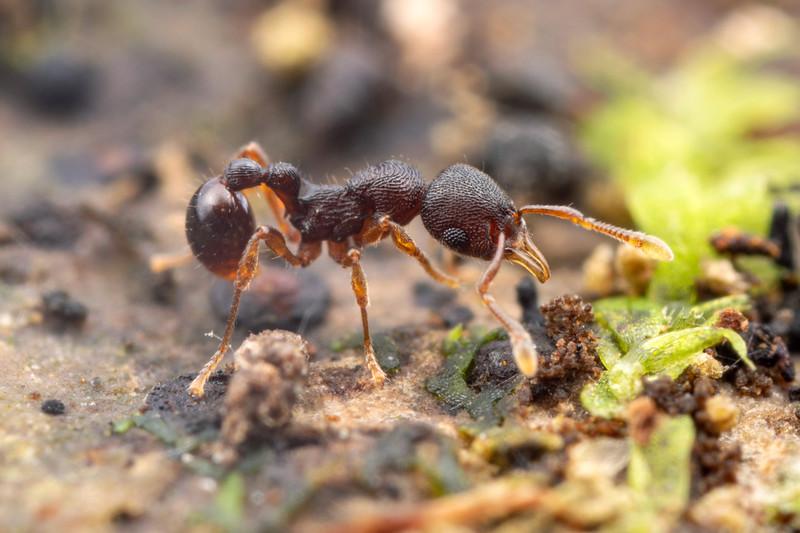 Lenomyrmex wardi