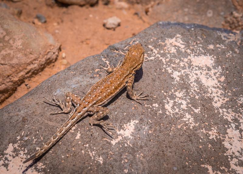 Road to Babylon Side-blotched Lizard