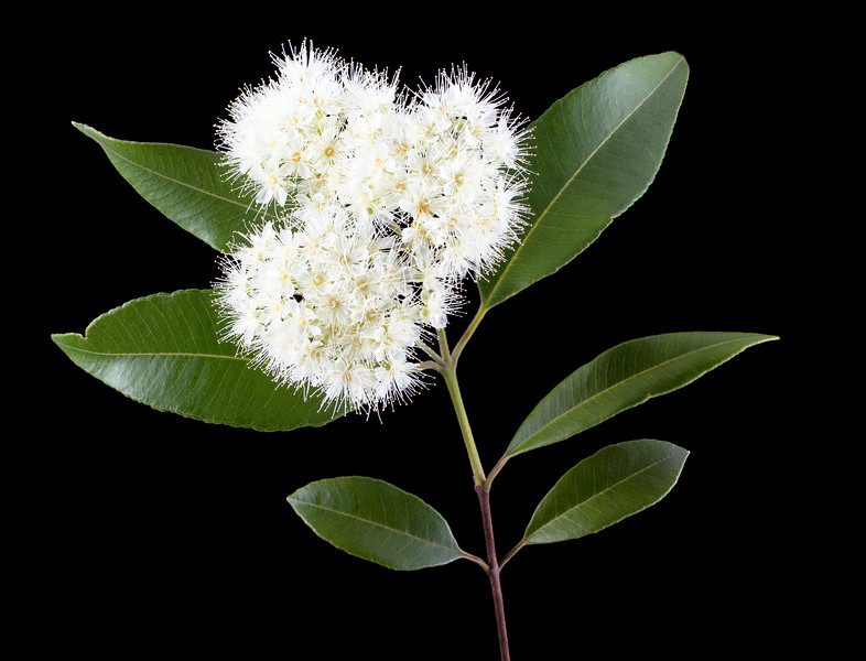 lemon myrtle blossoms 3p.jpg