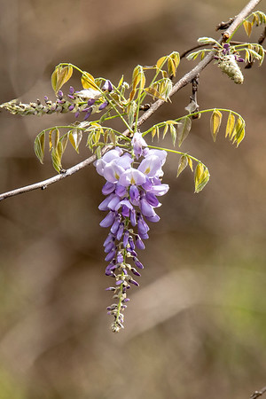 Unidentified purple flower-Lake Henrietta-Tallahassee, FL
