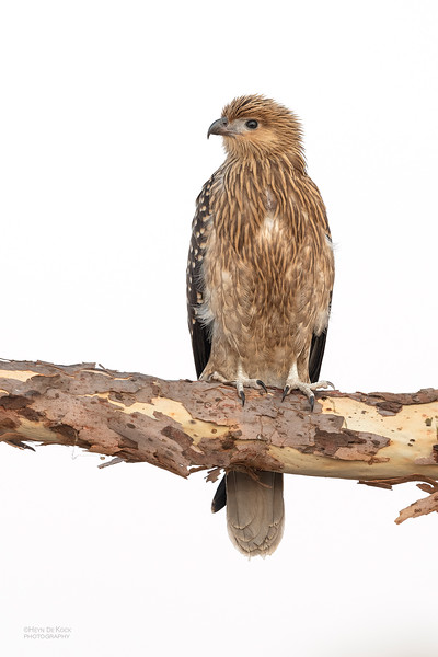 Whistling Kite, Lake Atkinson, QLD, Nov 2019-1.jpg