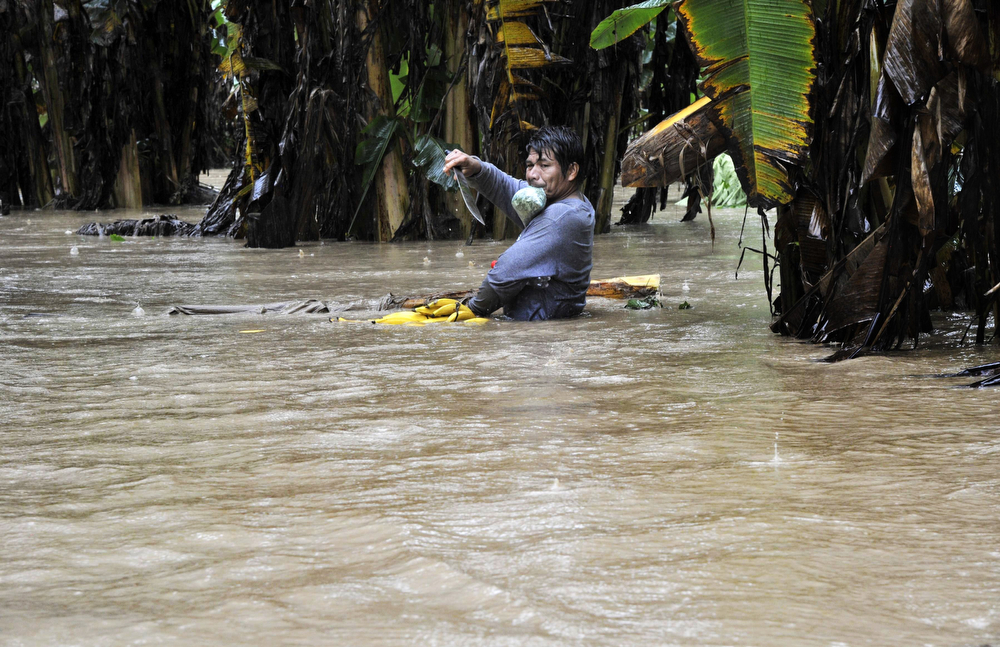 Description of . A man harvests bananas from a flooded plantation in Puerto Yumani, 15 km from Rurrenabaque, northeast Bolivia, February 4, 2014. (AIZAR RALDES/AFP/Getty Images)