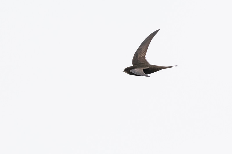 gierzwaluw, common swift