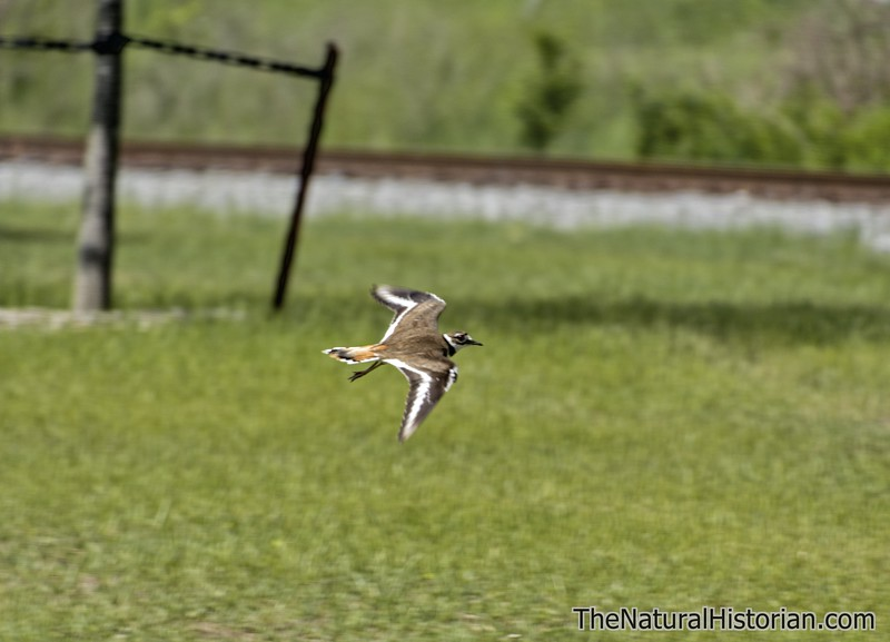Adult-killdeer-flying-distractiondisplay-cantonOHjpg.jpg