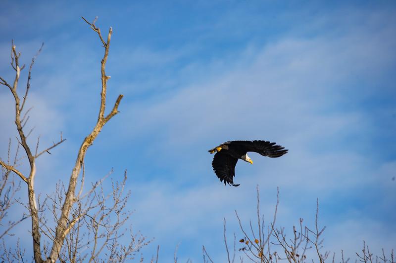 Shady Oak Eagle #12