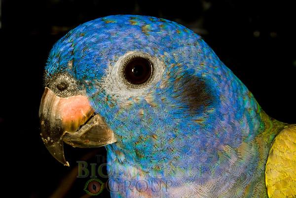 Parrots (Psittiformes)
