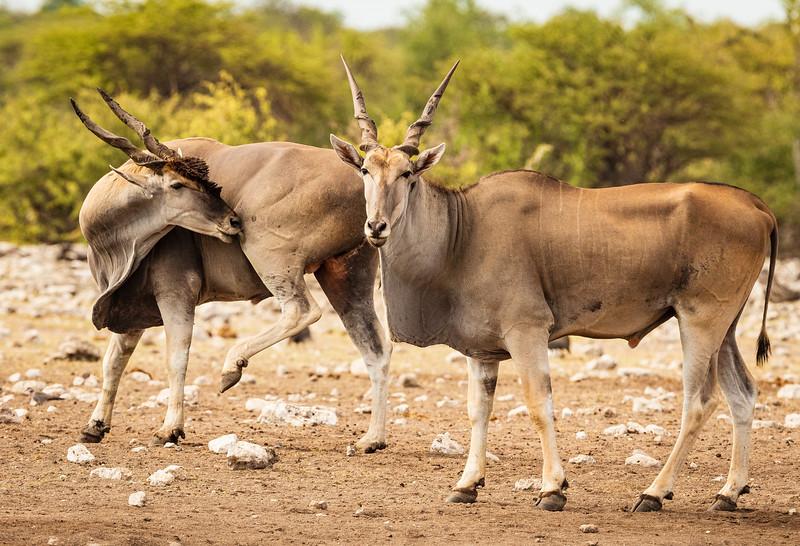 Eland bulls grooming