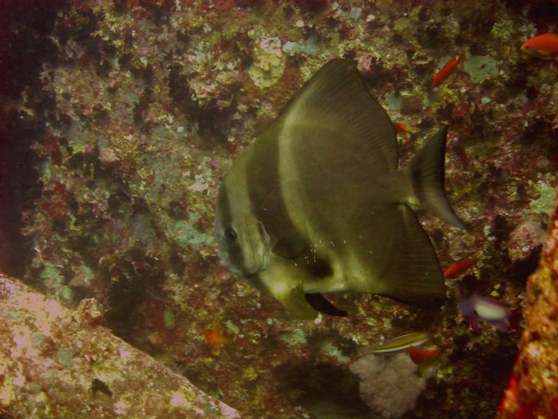 May favourite doped up Batfish on the Thistlegorm